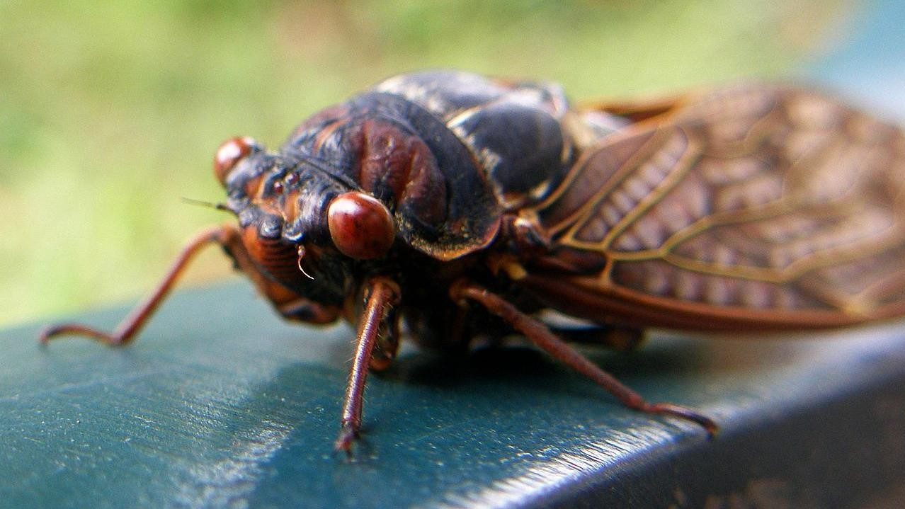 Oh Great, This Epic Cicada Invasion Comes with a Bonus Killer Wasp Invasion