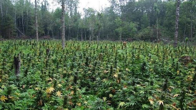 Drug Cartels Are Growing Tons of Weed Inside the U.S.