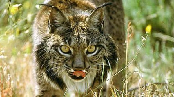 The World's Most Endangered Big Cat Could Go Extinct Because of Climate Change