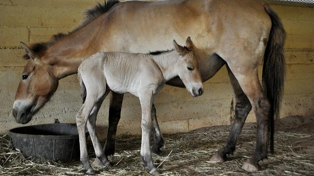 This Newborn Przewalski's Horse Is Rare (And Totally Adorable)