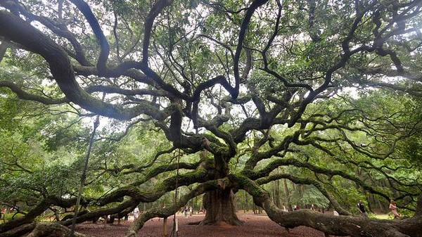 Considering Age and Time in the Shade of Charleston's 500-Year-Old Angel Oak