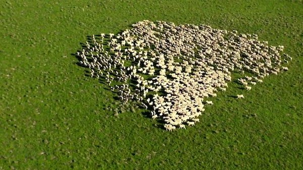 This Aussie Drone Captured the Sheepish Swarm of Things