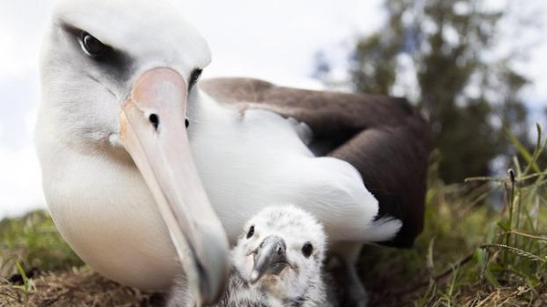 Albatrosses Are Full of Our Plastic: An Interview with the Directors of 'Midway'
