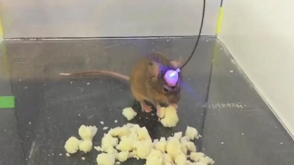 Mice Can Be Induced to Eat Via Lasers in the Brain