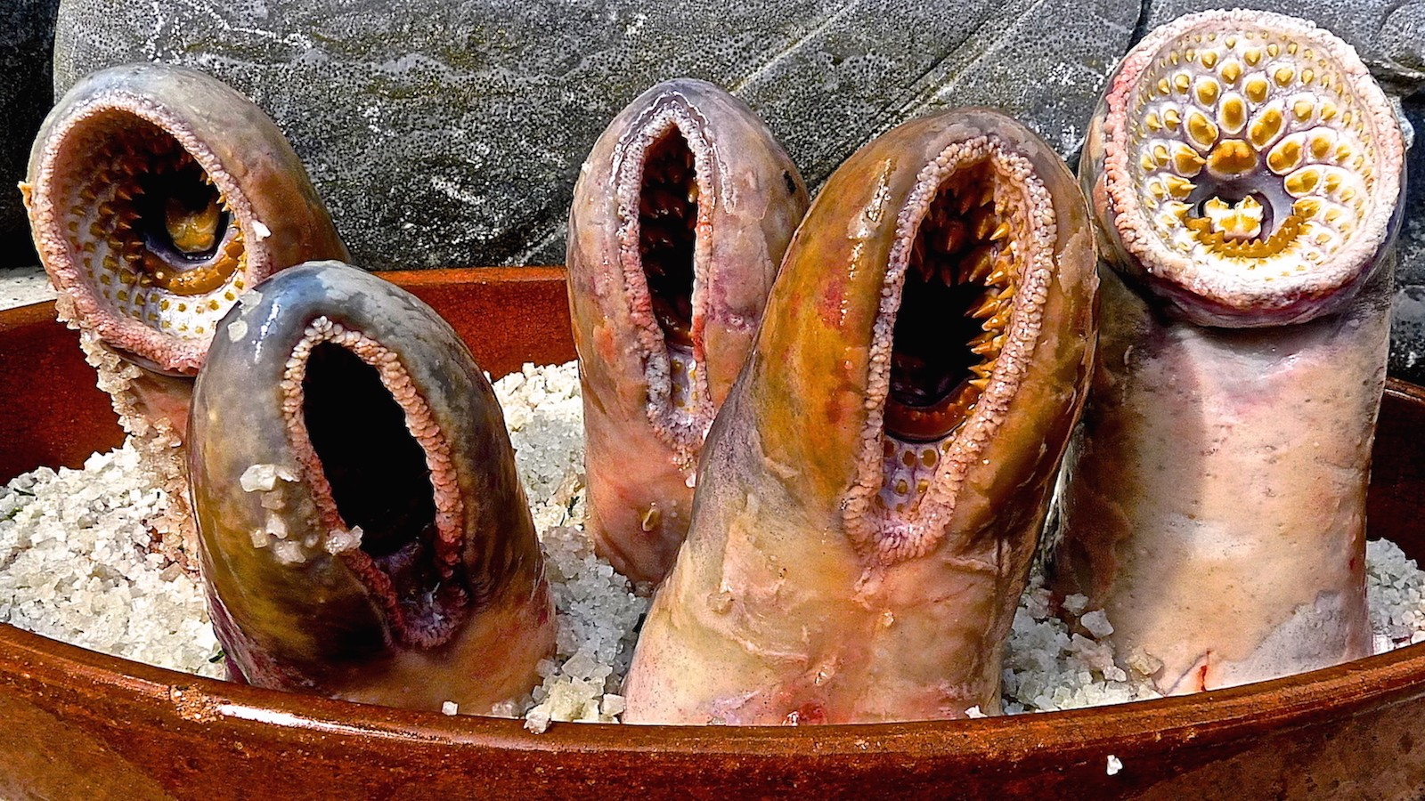 The Sea Lamprey Society Gathered To Eat The Most Gruesome Animal In