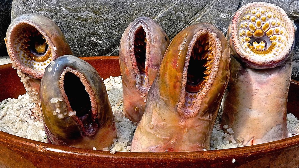 The Sea Lamprey Society Gathered To Eat Most Gruesome Animal