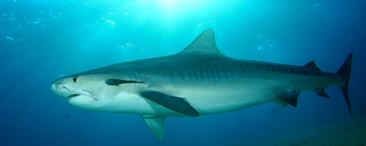 Homeless People Are Eating Tiger Shark in Texas