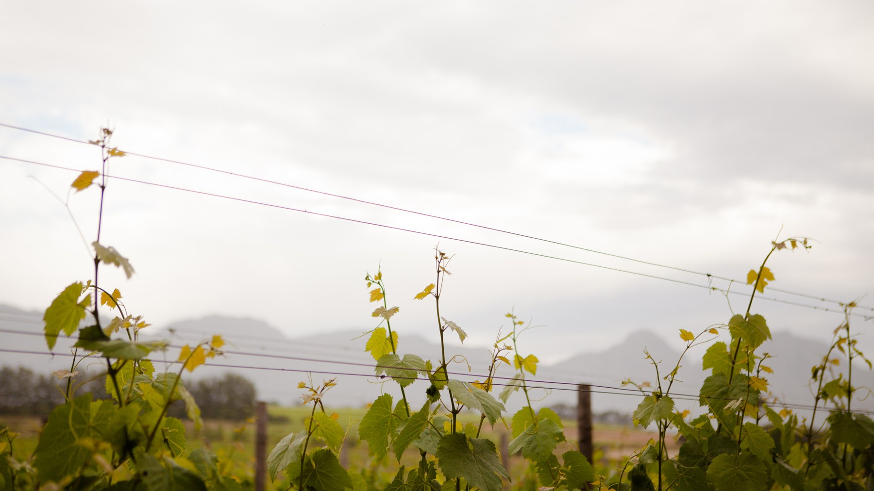 Grape plants at Audacia winery in Stellenbosch.