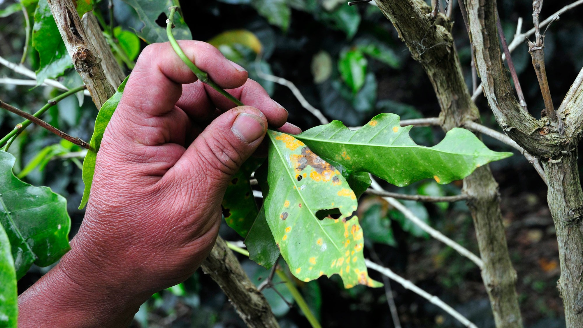 Coffee rust at a farm in Cauca, southwestern Colombia. Photo courtesy Neil Palmer, International Center for Tropical Agriculture.