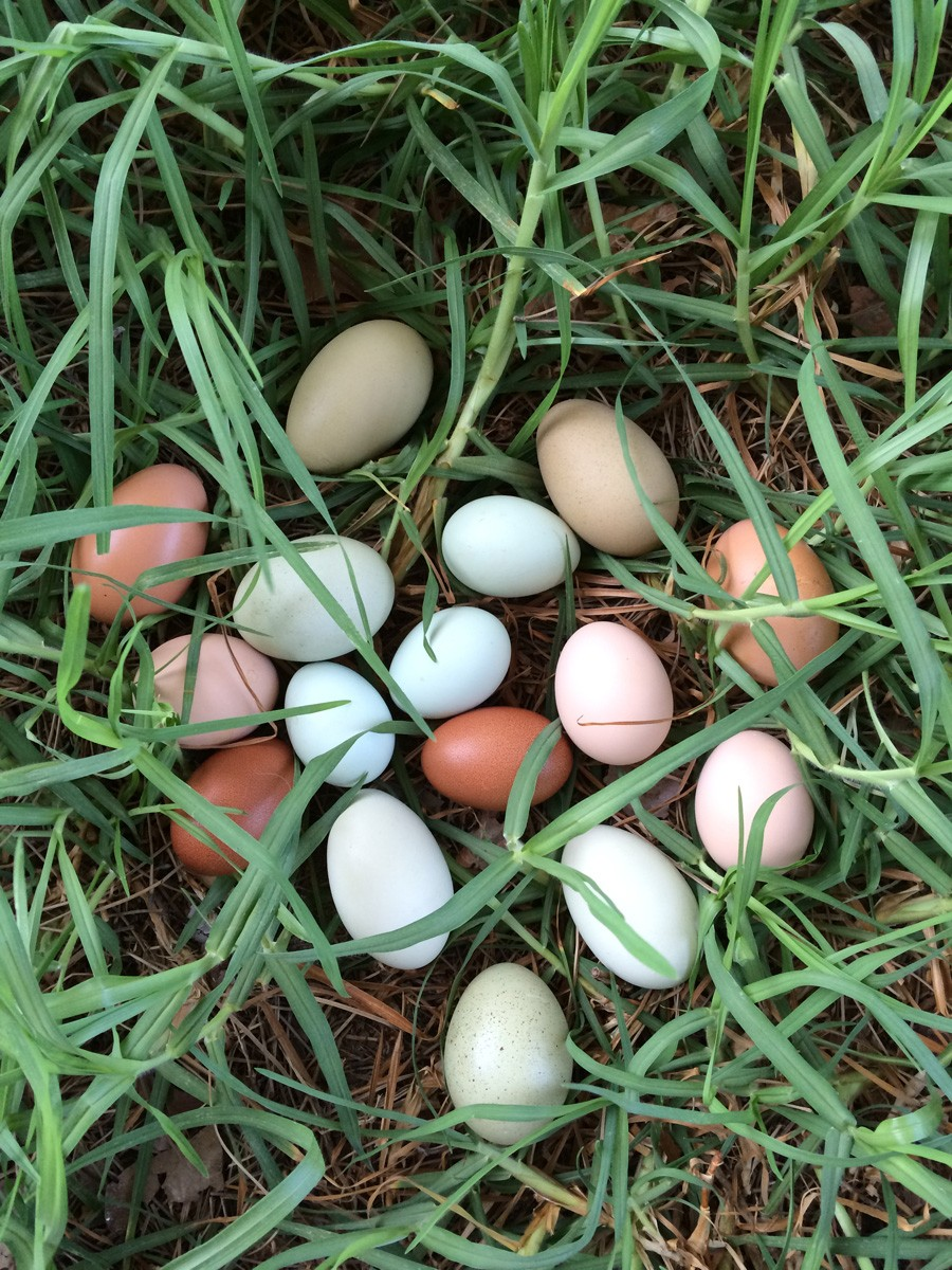 backyard_eggs