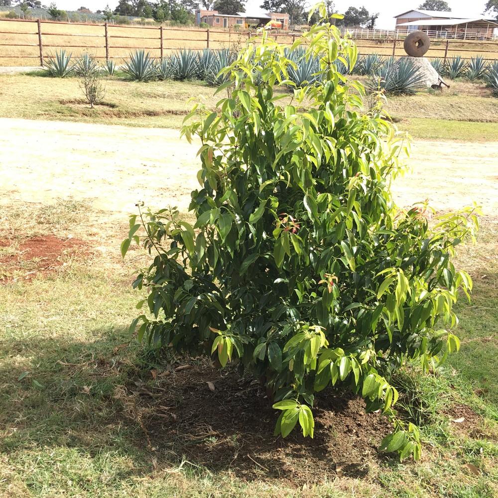 cinnamon_tree