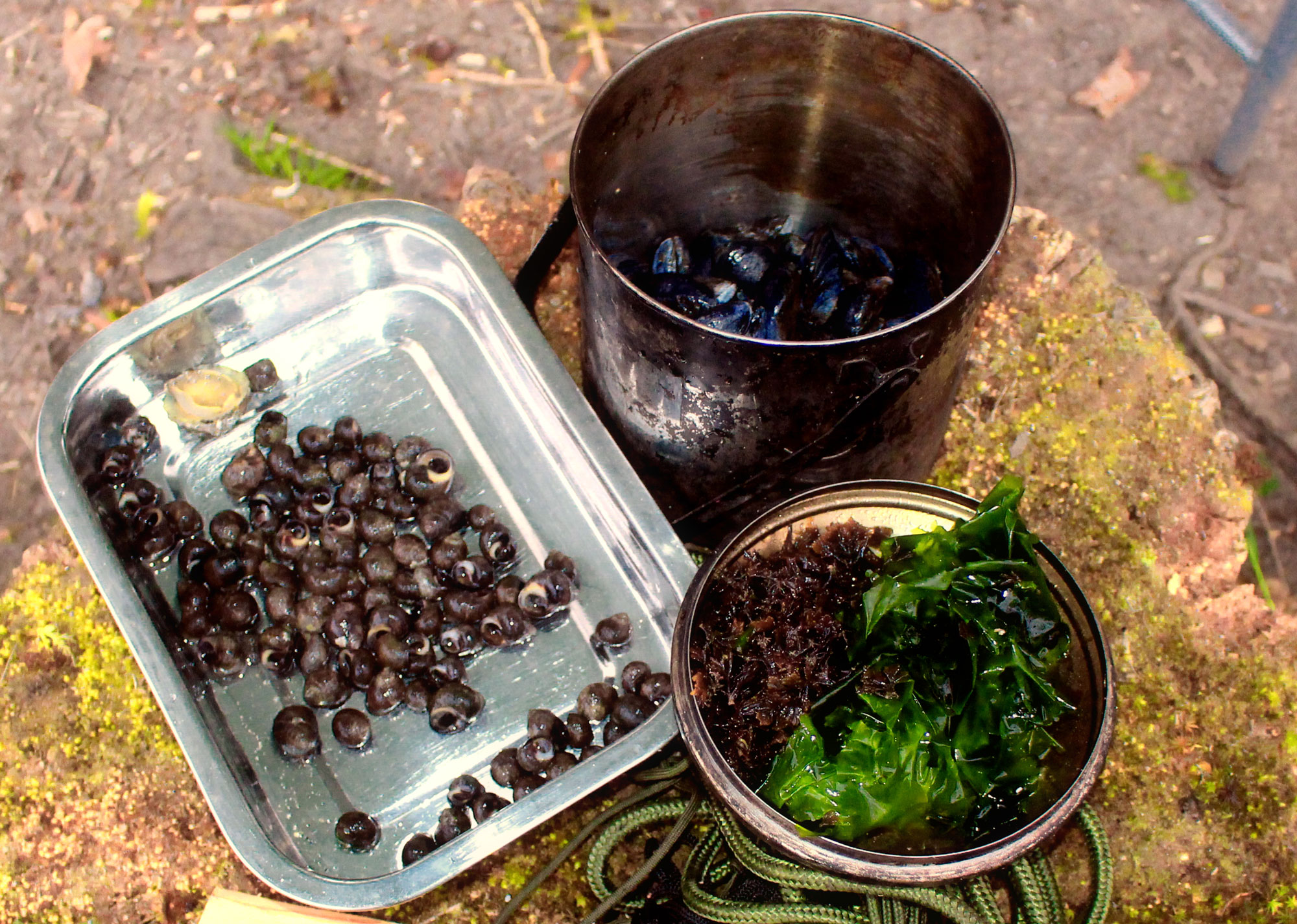 Periwinkles, mussels, Pepper Dulse, and sea lettuce.