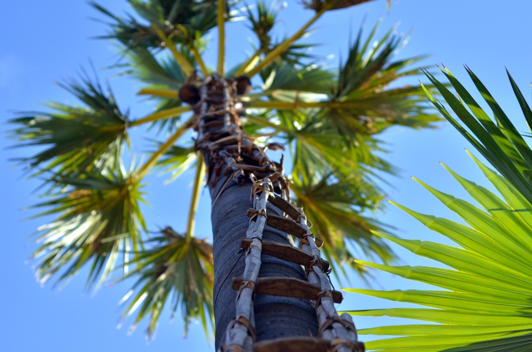 Palm tree ladder