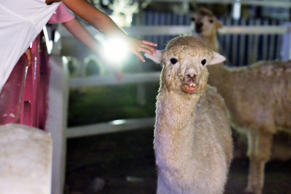 Bangkok s alpaca restaurant gave me the creeps munchies for Alpaca view farm cuisine