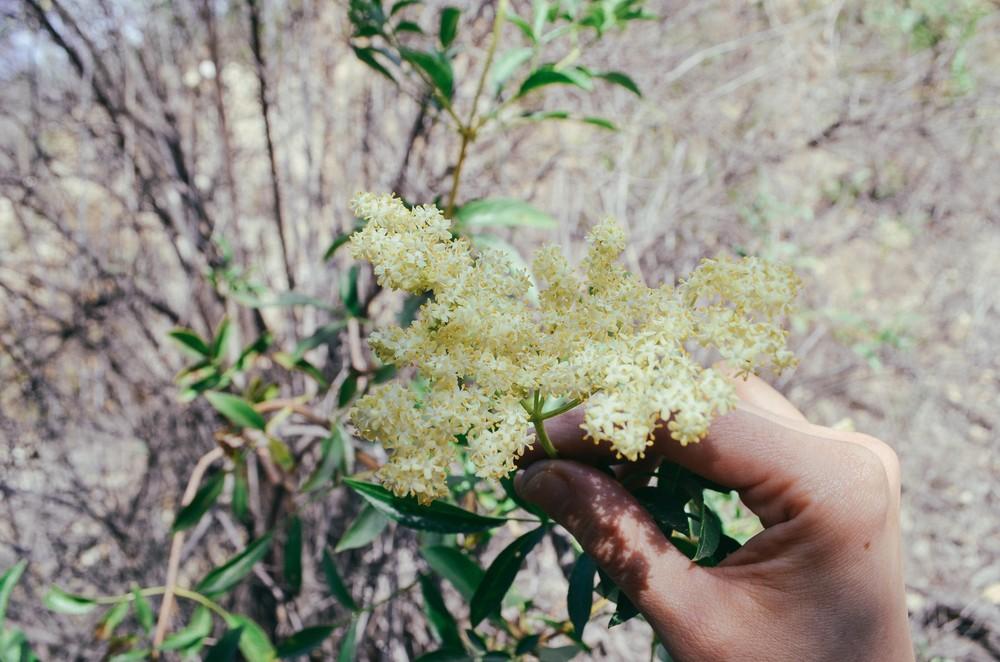 elderberry-flowers_23688615325_o