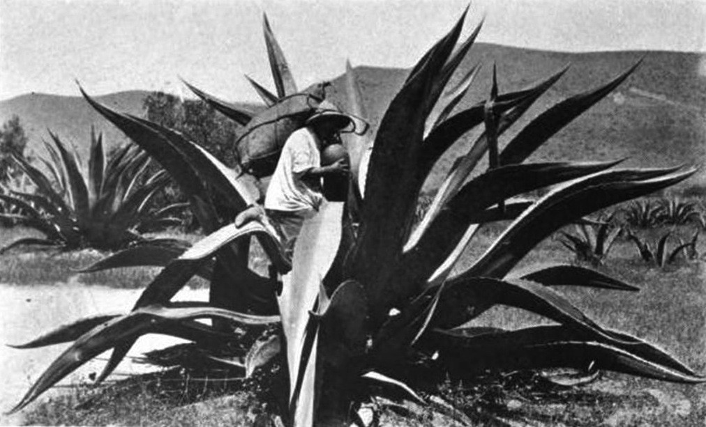 Vintage photo of the maguey plant via Flickr userJorge Elias