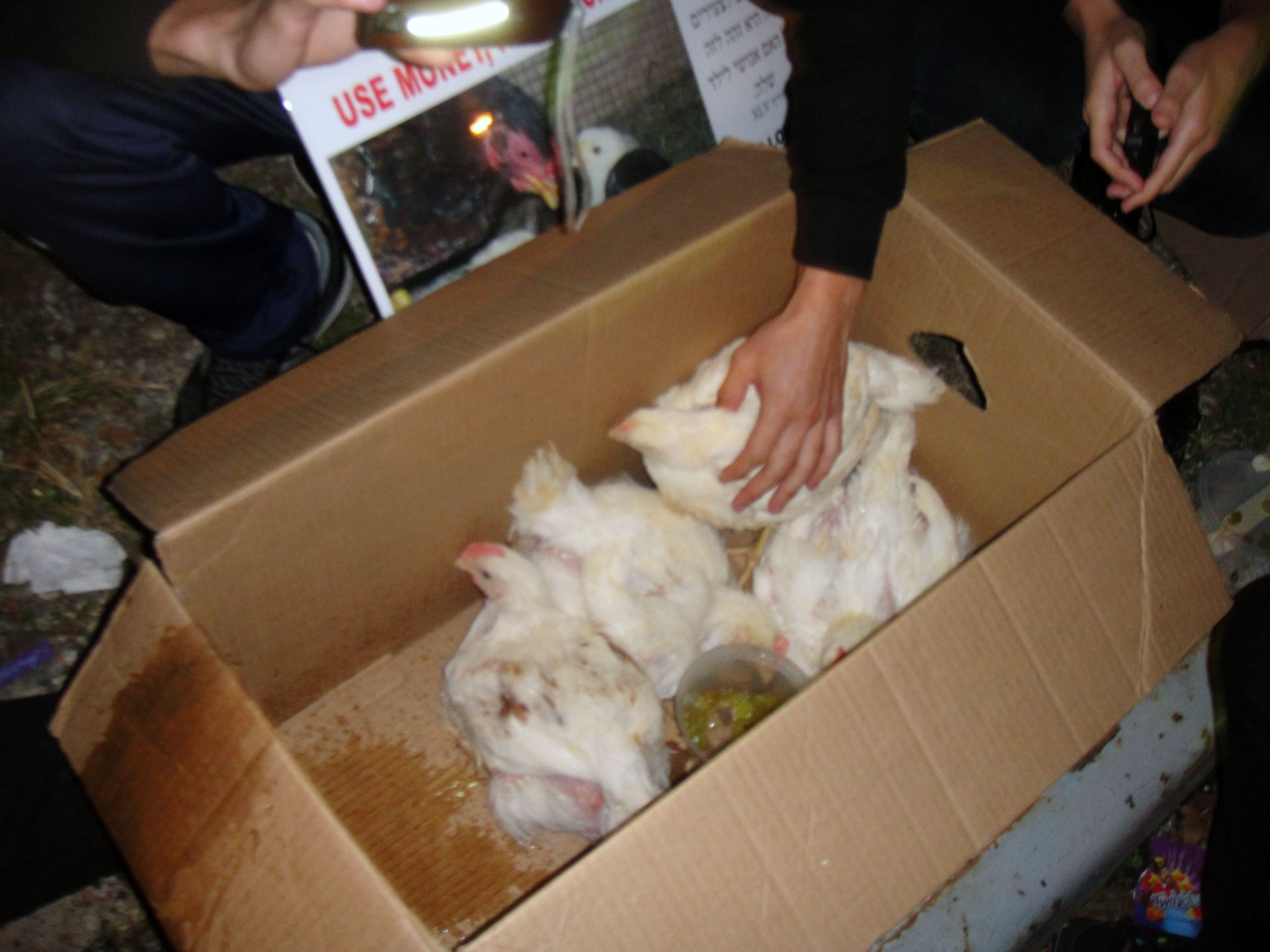 rescued-chickens