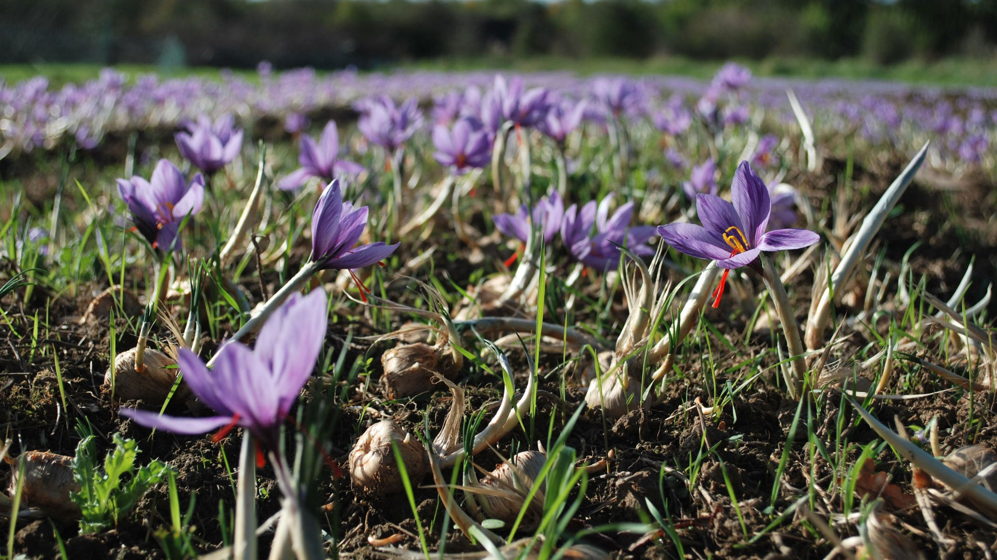 saffron-David-Smale's-crop