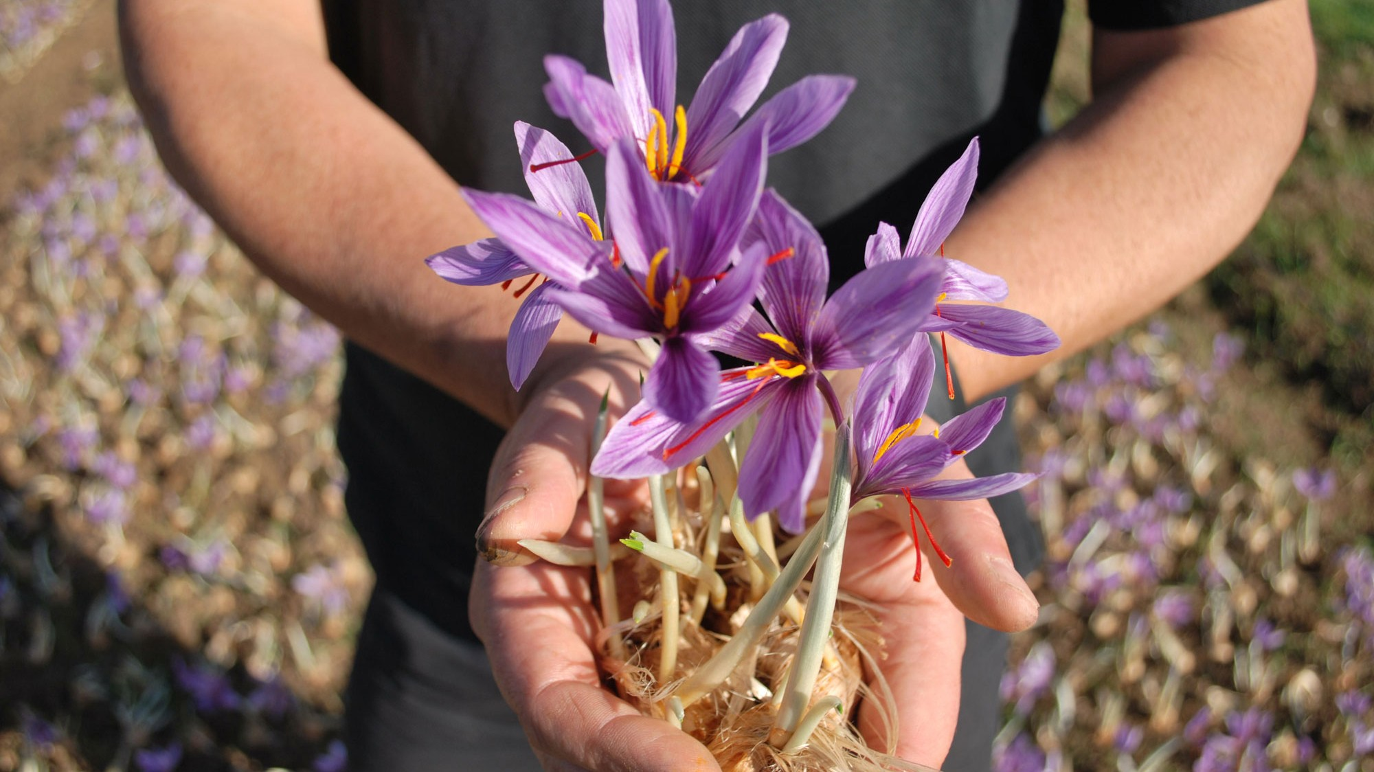 saffron-crocuses-uk