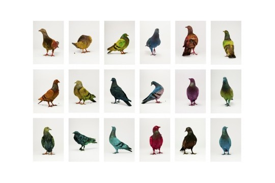 Rainbow-Dyed Pigeons Become Flying Works of Art