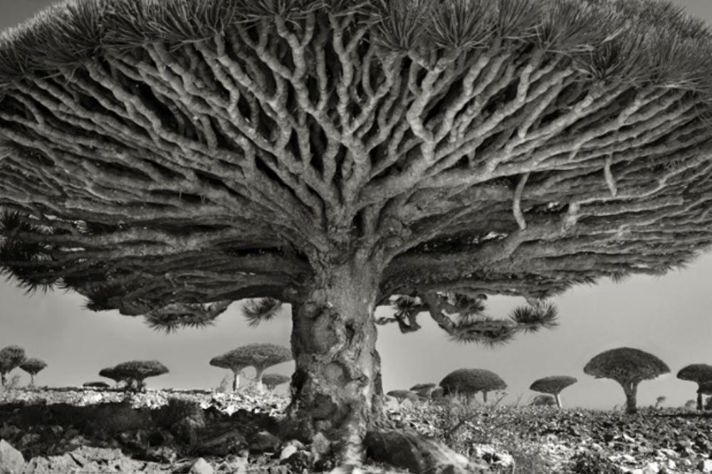 Surreale Schwarz-Weiß-Bilder der ältesten Bäume der Welt