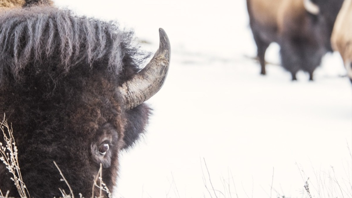 The Government Won't Let Me Watch Them Kill Bison, So I'm Suing